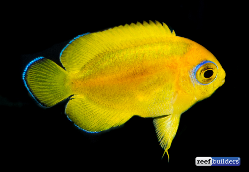 lemonpeel-angelfish-captive-bred-2
