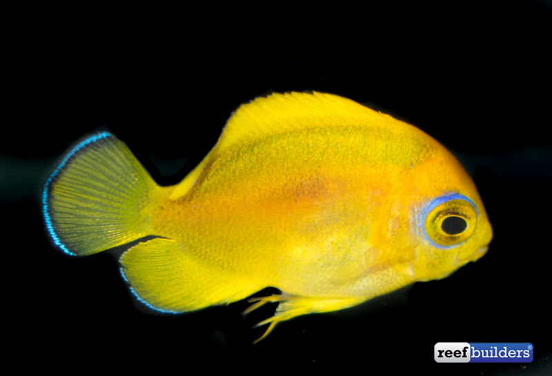 lemonpeel-angelfish-captive-bred-3