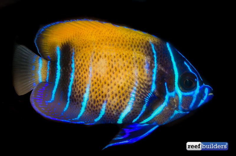 majestic-angelfish-captive-bred-1