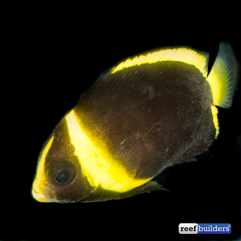 maze-angelfish-captive-bred-1