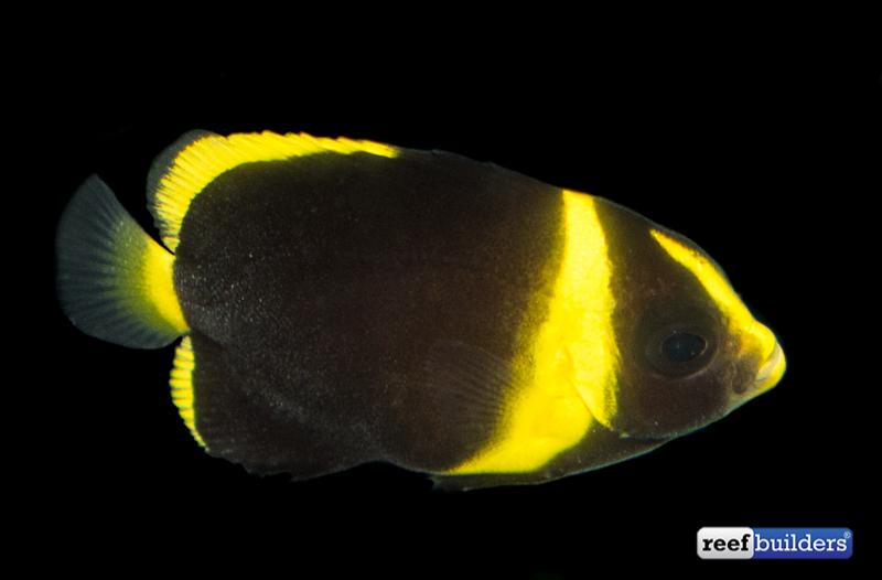 maze-angelfish-captive-bred-2