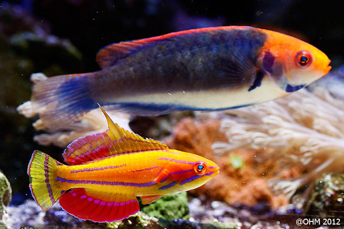 anthias display reef tank