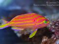 t. flavofasciatus