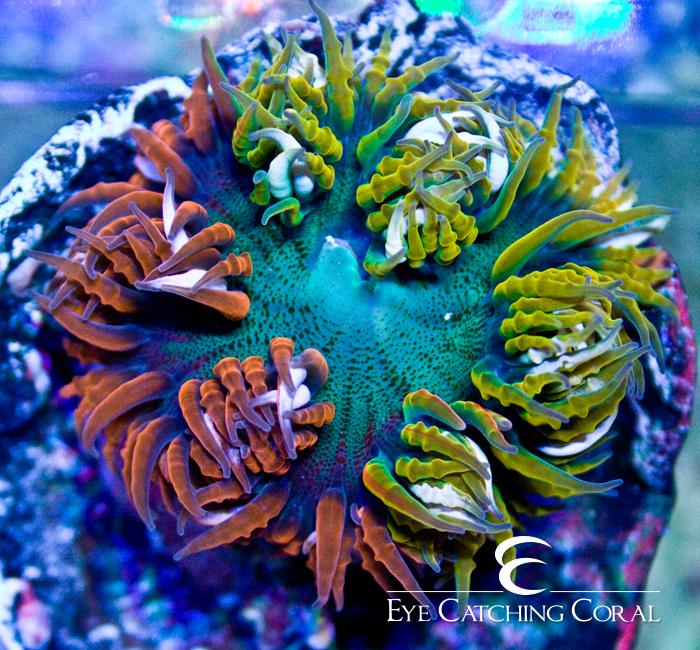 Anemone Shrinking  Corallorecom
