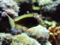 Pseudanthias huchtii.png