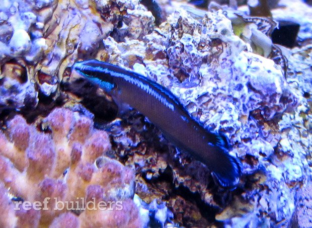 nice shot of the black neon dottyback showing what glory it may hold ...