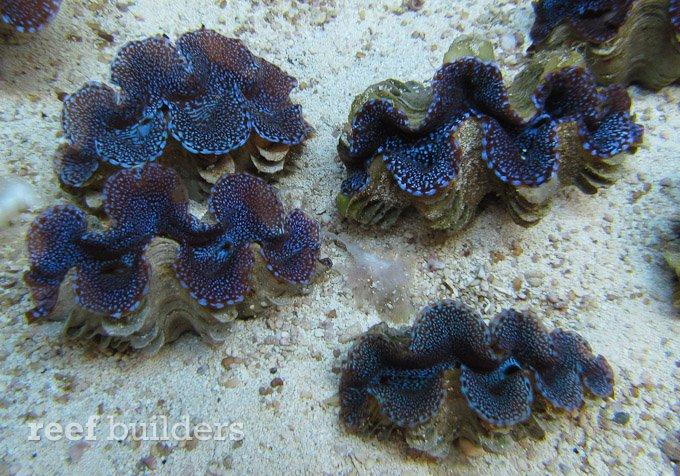 blue-squamosa-clam-1