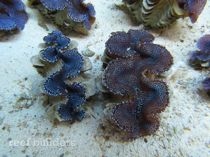 blue-squamosa-clam-3