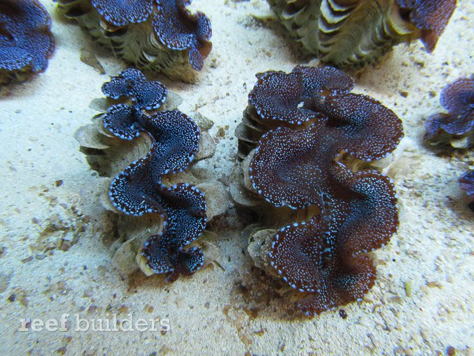 blue-squamosa-clam-5
