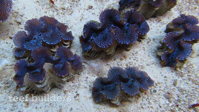 blue-squamosa-clam-7