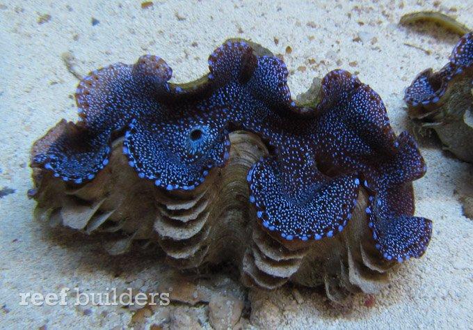 blue-squamosa-clam-8
