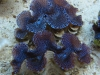 blue-squamosa-clam-2
