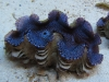 blue-squamosa-clam-8