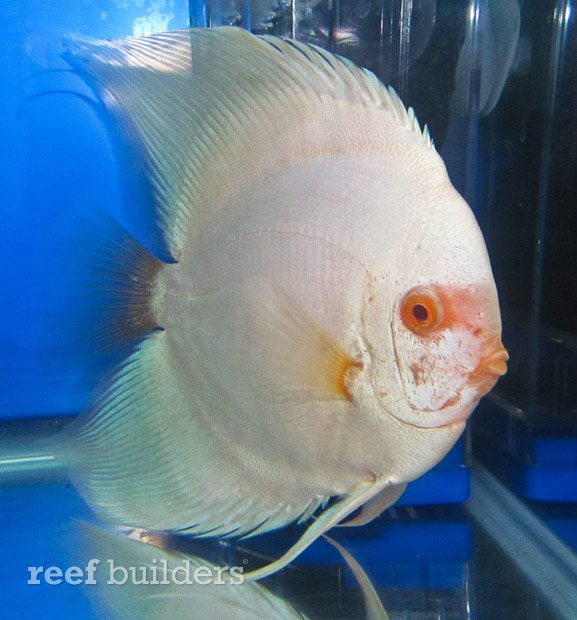 Reef Builders: Longfin Boomerang Discus Catch This Reefer's Eye At