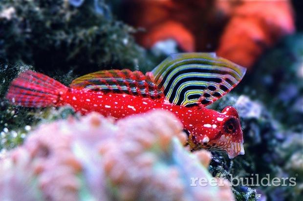red-ruby-dragonet