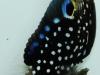sustainable-aquatics-marine-betta-3