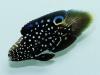 sustainable-aquatics-marine-betta-4