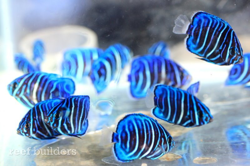 Captive-bred Annularis Angelfish, by Bali Aquarich.