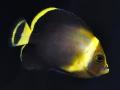 chaetodontoplus-cephalareticulatus