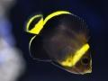 chaetodontoplus-cephalareticulatus1