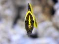 chaetodontoplus-cephalareticulatus3