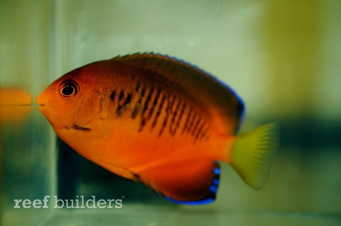 guam angelfish