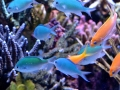 anthias-and-chromis