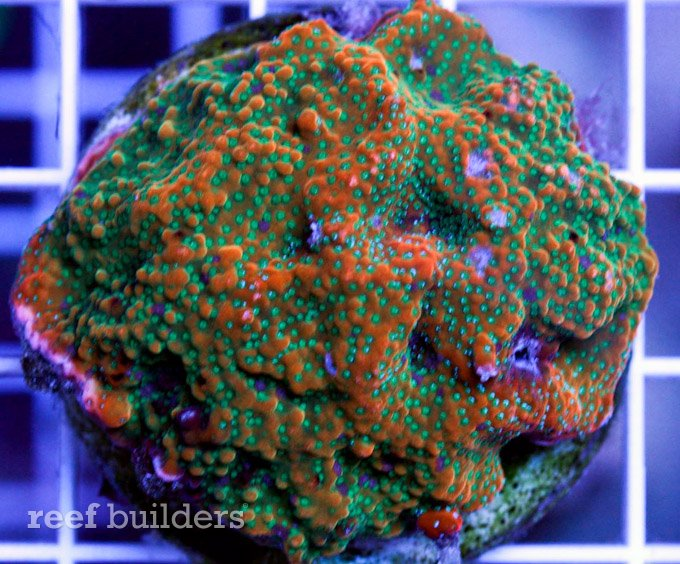 corals down under gold rush montipora
