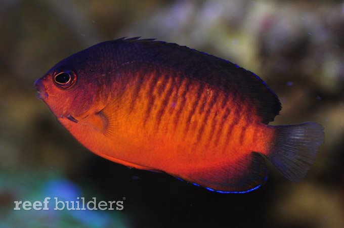 rusty flame beauty angelfish