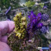 maricultured-acropora-3