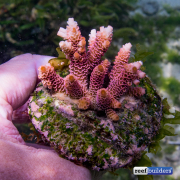 maricultured-acropora-5