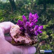 maricultured-acropora-7