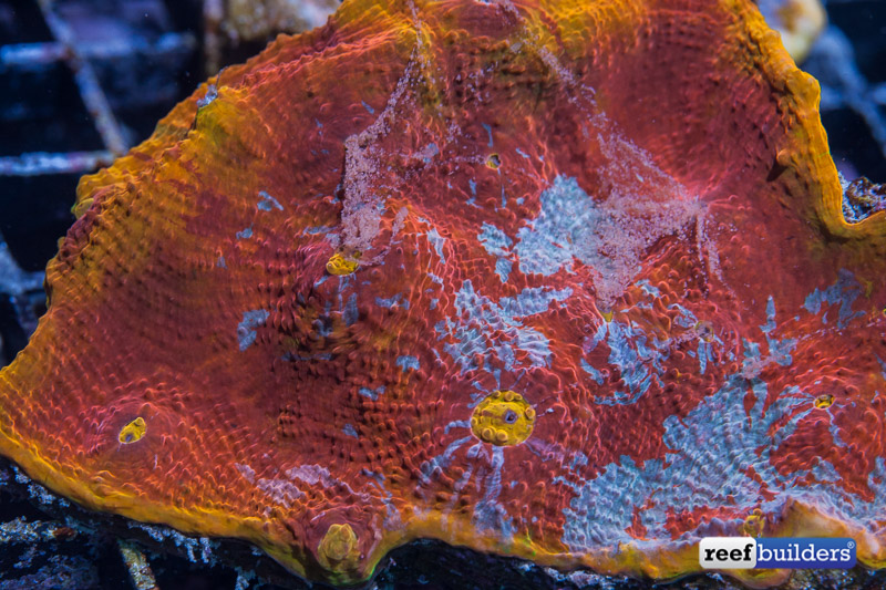 feeding aquarium corals-3