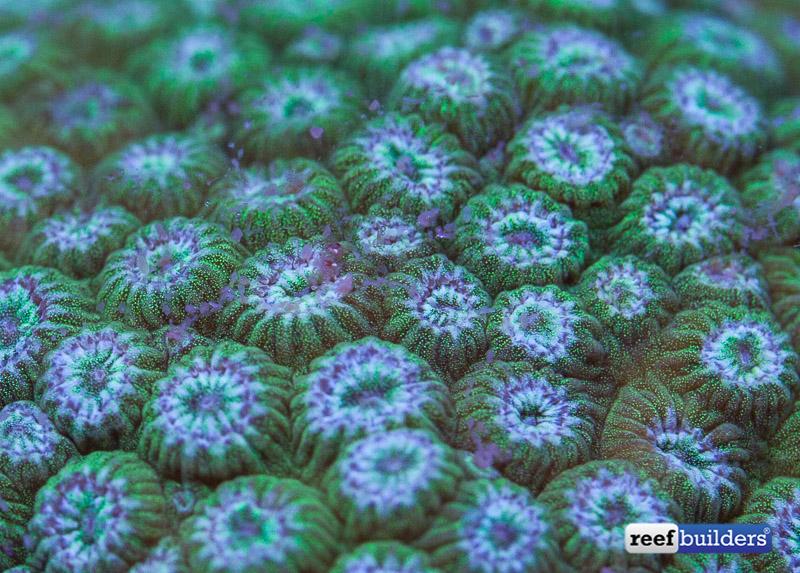 feeding aquarium corals-4
