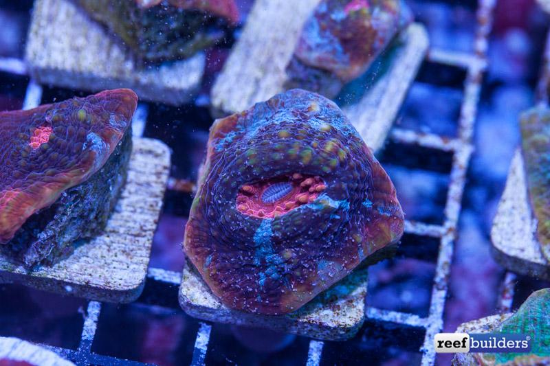 feeding aquarium corals-6