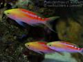 P cf. aurulentus