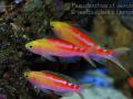 Pseudanthias cf aurulentus coral sea