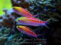 coral sea aurulentus