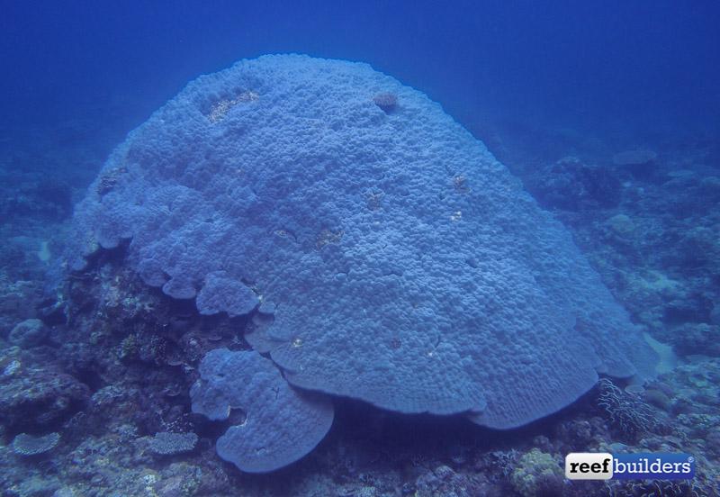 philippines stony soft corals-12.jpg