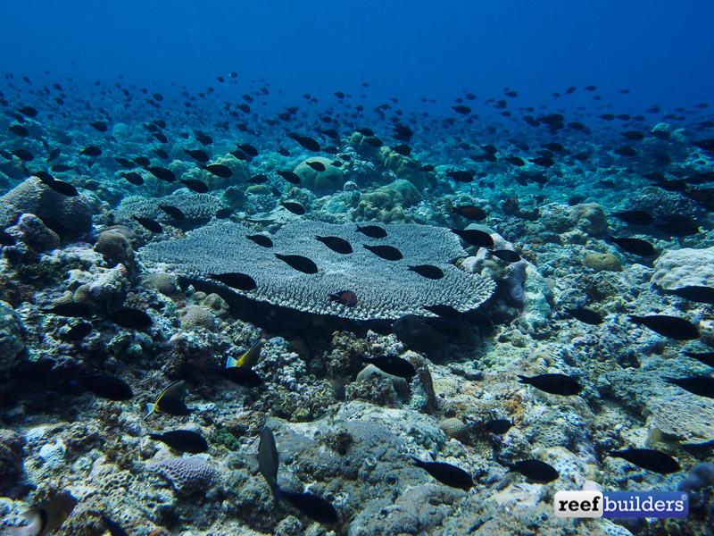 philippines stony soft corals-4.jpg