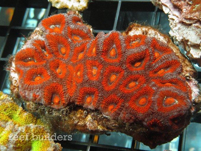 micromussa amakusensis