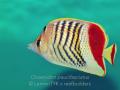 chaetodon paucifasciatus.jpg