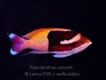 Pseudanthias connelli.jpg