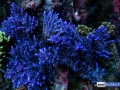 blue-tortuosa-denver-aquarium-reef-tank-7