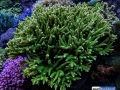 green-staghorn-denver-aquarium-reef-tank-10