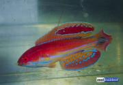 paracheilinus-attenuatus-2