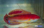 paracheilinus-attenuatus-3