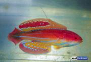 paracheilinus-attenuatus-4