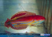 paracheilinus-attenuatus-7