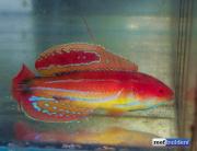 paracheilinus-attenuatus-8